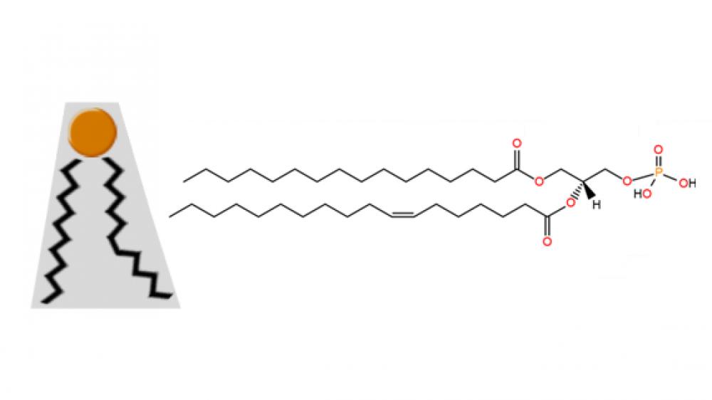 Phosphatidic acid structure